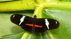 Heliconius clysonymus fischeri P1380596 (Andrew Neild, UK) Tags: colombia butterflies mariposas schmetterlinge borboletas 蝴蝶 risaralda papillons 蝶 farfalle sunstreak tatama heliconius fischeri clysonymus