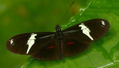 Heliconius clysonymus fischeri P1380577 (Andrew Neild, UK) Tags: colombia butterflies mariposas schmetterlinge borboletas 蝴蝶 risaralda papillons 蝶 farfalle sunstreak tatama heliconius fischeri clysonymus