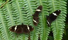 Heliconius clysonymus fischeri x3 P1380603 (Andrew Neild, UK) Tags: colombia butterflies mariposas schmetterlinge borboletas 蝴蝶 risaralda papillons 蝶 farfalle sunstreak tatama heliconius fischeri clysonymus