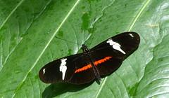 Heliconius clysonymus clysonymus x H. c. fischeri P1380644 (Andrew Neild, UK) Tags: colombia butterflies mariposas schmetterlinge borboletas 蝴蝶 risaralda papillons 蝶 farfalle sunstreak tatama heliconius fischeri clysonymus