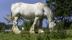 the white horse (blackfox wildlife and nature imaging) Tags: nikon sigma150600c wildlife wales