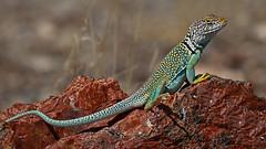 Collared Lizard Arizona (Eric Gofreed) Tags: collaredlizardarizona commoncollardlizard crotaphytuscollaris easterncollardlizard petrifiedforestnationalpark