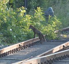 Red Fox - Rail Vantage Point (Gilli8888) Tags: northeast olympus e450 dslr rail railwayline fox redfox mammal linear lines