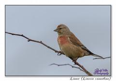 Linnet (Male) (blazingsun2011) Tags: birds eos7d finches linnetlinariacannabina naturalworld nature rspb wildlife yorkshire