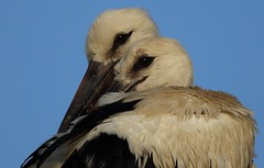 Brothers love... (Nora077) Tags: white stork juvenil spain ciconia noratoth bird