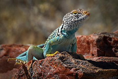 Collared Lizard Arizona (Eric Gofreed) Tags: arizona collaredlizardarizona commoncollardlizard crotaphytuscollaris easterncollardlizard lizard petrifiedforestnationalpark
