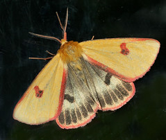 Clouded Buff (Arnt Kvinnesland) Tags: cloudedbuff butterfly insect rødfrynsetbjørnespinner sommerfugl spinnere insekter juli sommer lynghei blikshavn norway