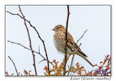 Linnet (Female) (blazingsun2011) Tags: birds eos7d finches linnetlinariacannabina naturalworld nature rspb wildlife yorkshire