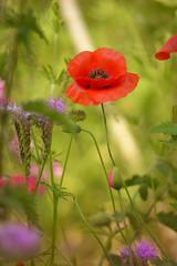 Summer Beauty... (KissThePixel) Tags: flower poppy redpoppy red green meadow garden nature nikon mygarden nikondf df sigma sigma70200mm f28 summermeadow summer light dreamingoflight flowers bokeh macro beautiful beauty