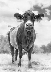 Infrared Cow (GeorgeKBarker) Tags: cow cattle infrared field agriculture farm grass 720 720nm portrait glow light monochrome mono black white
