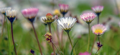 Untitled (photofitzp) Tags: spring2019 wildflowers colours daisy