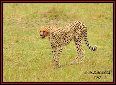 FEMALE CHEETAH  (Acinonyx jubatus).....MASAI MARA....SEPT 2017. (M Z Malik) Tags: nikon d3x 200400mm14afs kenya africa safari wildlife masaimara keekoroklodge exoticafricanwildlife exoticafricancats flickrbigcats cheetah acinonyxjubatus ngc npc