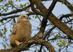 Great Horned Owlet...#9 (Guy Lichter Photography - 5.1M views Thank you) Tags: canon 5d3 canada manitoba winnipeg wildlife animal animals bird birds owl owls greathornedowl owlet