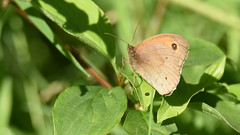 Meadow Brown, Dinton Pastures (rq uk) Tags: rquk nikon d750 nikond750 tamronspaf150600mmf563divcusd dintonpastures meadowbrown butterfly