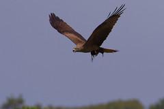 Milan noir - Milvus migrans - Black Kite (Alain-46) Tags: milannoir milvusmigrans blackkite accipitriformes accipitridés birds prédation nikond500 raptors rapaces predation