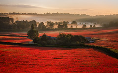 Field of Dreams (Vemsteroo) Tags: red poppies poppy flowers wildflowers nature landscape worcestershire worcester beasley sunrise mist beautiful crops agriculture farm farmland canon 5d mkiv 70200mm telephoto westmidlands dreamy ethereal summer