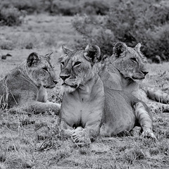 Lion Trio (Leon Sammartino) Tags: kenya samburu sambaru northern east africa safari lion lioness family monochrome wildelife grey mane grass mono black white fujifilm telephoto xmount