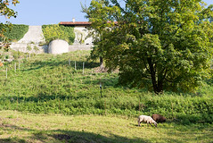 _DSC7062 (Ghostwriter D.) Tags: burghausen bavaria germany nikond600 sheep castle