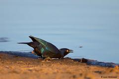 Cape Glossy Starling (leendert3) Tags: leonmolenaar southafrica krugernationalpark wilderness wildlife nature naturereserve wildanimal bird capeglossystarling naturethroughthelens coth5 ngc