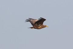 White-tailed Eagle at Vik S24A0948 (grebberg) Tags: jæren bird vik klepp rogaland norway 2019 april whitetailedeagle havørn haliaeetusalbicilla haliaeetus eagle raptor birdofprey