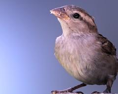 At the Kitchen Window (Jan Nagalski) Tags: bird sparrow housesparrow englishsparrow nature wildlife closeup backgroundblur backyardbird feeder michigan jannagalski jannagal summer