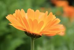 Gerbera (MJ Harbey) Tags: gerbera flower orangegerbera asteraceae asterid asterales mutisioideae mutisieae sissinghurstcastlegardens sissinghurst cranbrook kent nikon d3300 nikond3300 nationaltrust