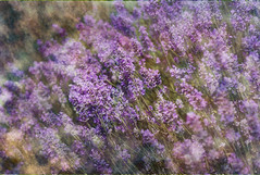 Lavender (judy dean) Tags: judydean 2019 texture ps garden lavender blue flowers scent