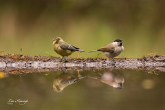 Willow tit & Eurasian blue tit | Matkop & pimpelmees (Leo Kramp) Tags: web vogels wwwleokrampfotografienl dieren data hbn5 photography natuurfotografie leokrampfotografie vogelhut matkop 2019 2010s pimpelmees animals birds cyanistescaeruleus eurasianbluetit naturephotography poecilemontanus willowtit