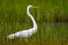 Great Egret (Daniel Weeks) Tags: greategret