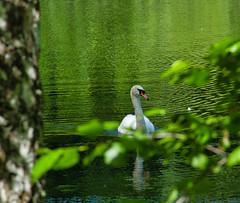 IMG_5966 (gidlark) Tags: water pond flora leaves bird white swan дендропарктростянець