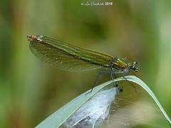 Banded demoiselle - female (LPJC (away for August)) Tags: skylarksreserve skylarks nottinghamshire uk 2019 lpjc bandeddemoiselle damselfly