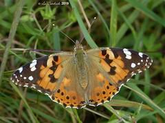 Painted lady (LPJC (away for August)) Tags: skylarksreserve skylarks nottinghamshire uk 2019 lpjc paintedlady butterfly