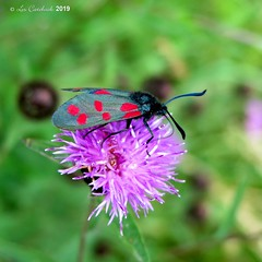 6-spot burnet moth (LPJC (away for August)) Tags: skylarksreserve skylarks nottinghamshire uk 2019 lpjc 6spotburnet moth