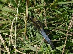 Black-tailed skimmer - male (LPJC (away for August)) Tags: skylarksreserve skylarks nottinghamshire uk 2019 lpjc blacktailedskimmer dragonfly