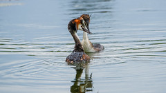 La parade amoureuse des Grèbes Huppées (Joseph Trojani) Tags: grebe huppée oiseau bird crestedgrebe parade amour love water eau lac lake nature nikon d750