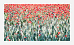 Poppy Abstract (Dave Fieldhouse Photography) Tags: poppy poppyfield poppies flowers wildflower abstract field countryside painterly grasses photography fuji fujixt2 fujifilm wwwdavefieldhousephotographycom