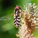Späte Großstirnschwebfliege