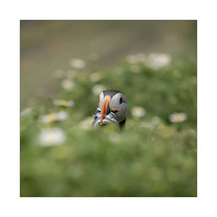 Peek-a-Boo! (rgarner42) Tags: puffin puffins skomer skomerisland pembrokeshire shallowdepthoffield bokeh wildlife wildlifephotography bird sandeels fuji fujifilm fujifilmxt3 fujixt3 wales southwales marloes stdavids visitwales visitpembrokeshire pembroke green yellow red foreground background central composition squarecrop square border pro amateur cymru uk unitedkingdom britain british brit england europe national nationalpark nationaltrust thewildlifetrust southwestwales nation skies sky dream dreamy soft xt3 wild clouds focus outside countryside frame light shadow welshtrust welsh mood moody colour color landscapephotography landscape cute