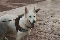 🐶🐶 #white #pet #dog #stile (Oshill) Tags: white stile dog pet