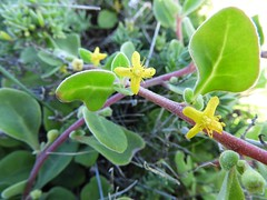 番杏科 Tetragonia implexicoma  攀冰菜 bower spinach 番杏屬 (Sheila's collection) Tags: 番杏科 aizoaceae bower spinach 番杏屬 攀冰菜