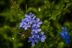 Plumbago auriculata (Changer4Ever) Tags: 藍雪花 plumbagoauriculata nikon d750 flower plant color colorful nature life bokeh closeup dof depthoffield blossom blossoming bloom blooming 1050mmf28