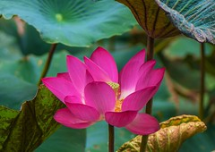 Summer Lotus (Changer4Ever) Tags: nikon d750 flower plant color colorful nature life bokeh closeup dof depthoffield blossom blossoming bloom blooming 1050mmf28 lotus lotusflower