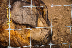 Marrano (SantiMB.Photos) Tags: 2blog 2tumblr 2ig santjoanlesfonts garrotxa girona invierno winter cerdo pig alambrada wire rural geo:lat=4221332426 geo:lon=249465120 geotagged cataluna españa