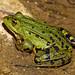 Grenouille verte (Pelophylax kl. esculentus) - Yvelines