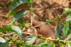 Small flowers for the coming season (Coffee Collective) Tags: coffee kenya directtrade nyeri kieni mugaga karatina coffeecollective