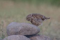 Was raus muss muss raus .... (Claudia Brockmann) Tags: natur nature wildlife wildanimal steinkauz tier tiere animal animals bratsigovo bulgarien