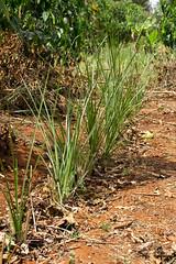 Vetva grass is a natural repellant that keeps insects away (Coffee Collective) Tags: coffee kenya directtrade nyeri kieni mugaga karatina coffeecollective