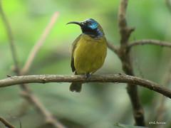 Cameroon Sunbird Cyanomitra oritis bansoensis (nik.borrow) Tags: bird sunbird awing
