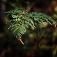 Australian Countryside (Helen C Photography) Tags: mamiya c220 film kodak portra 400 australia country nature fern leaves macro analogue lobethal bushlands