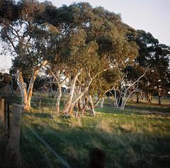 Australian Countryside (Helen C Photography) Tags: mamiya c220 film kodak portra 400 australia country nature gumtrees analogue sunset